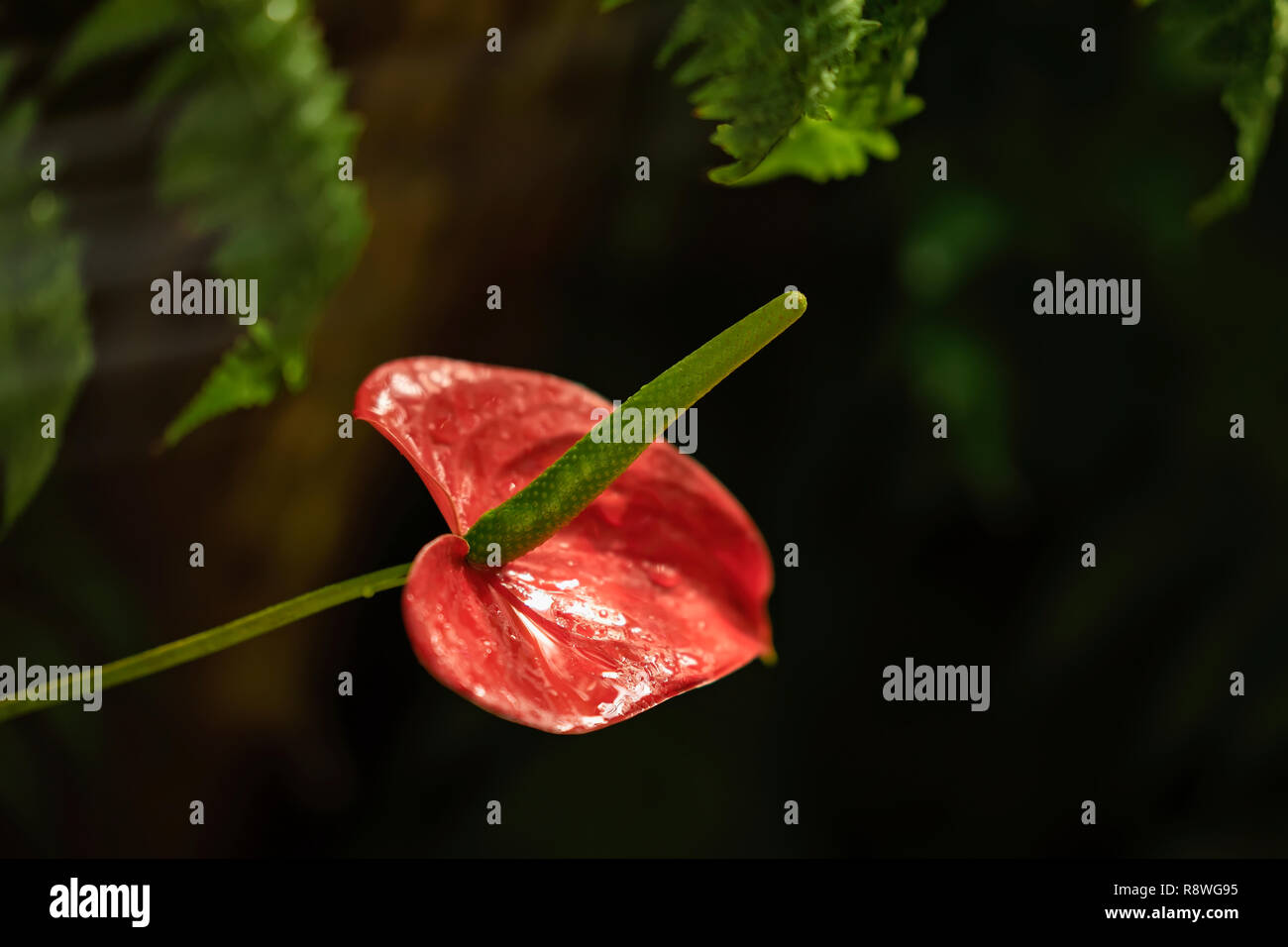 Showy flower of red anthurium close up on black background - Stock Image