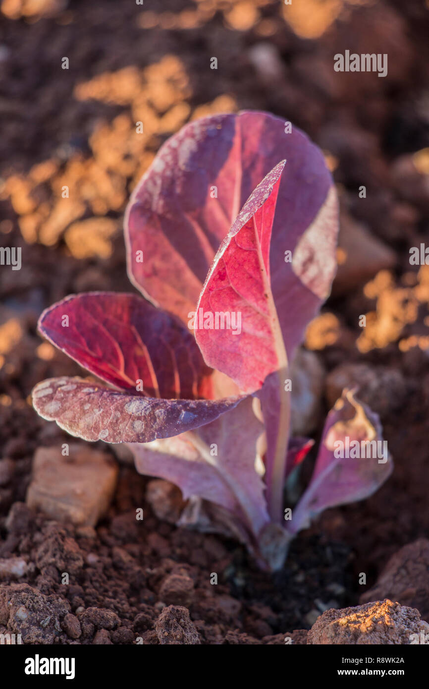 red baby leaf  lettuce in the field, lettuce cultivation, red leaves Stock Photo