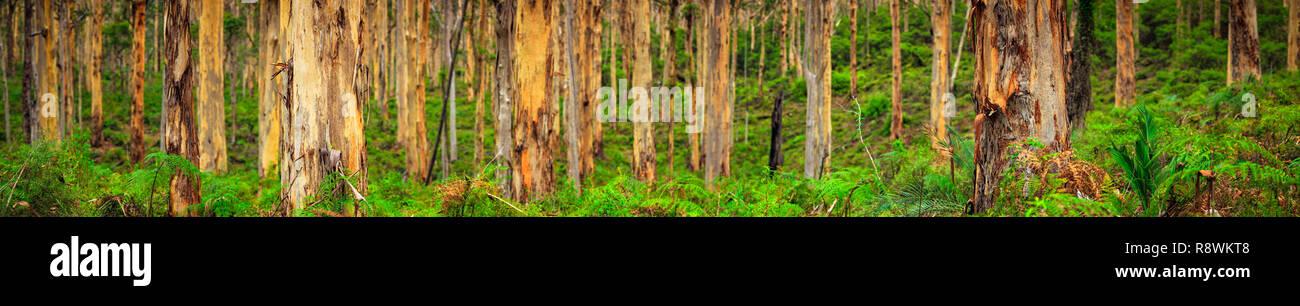 Boranup Karri Forest, Western Australia Stock Photo
