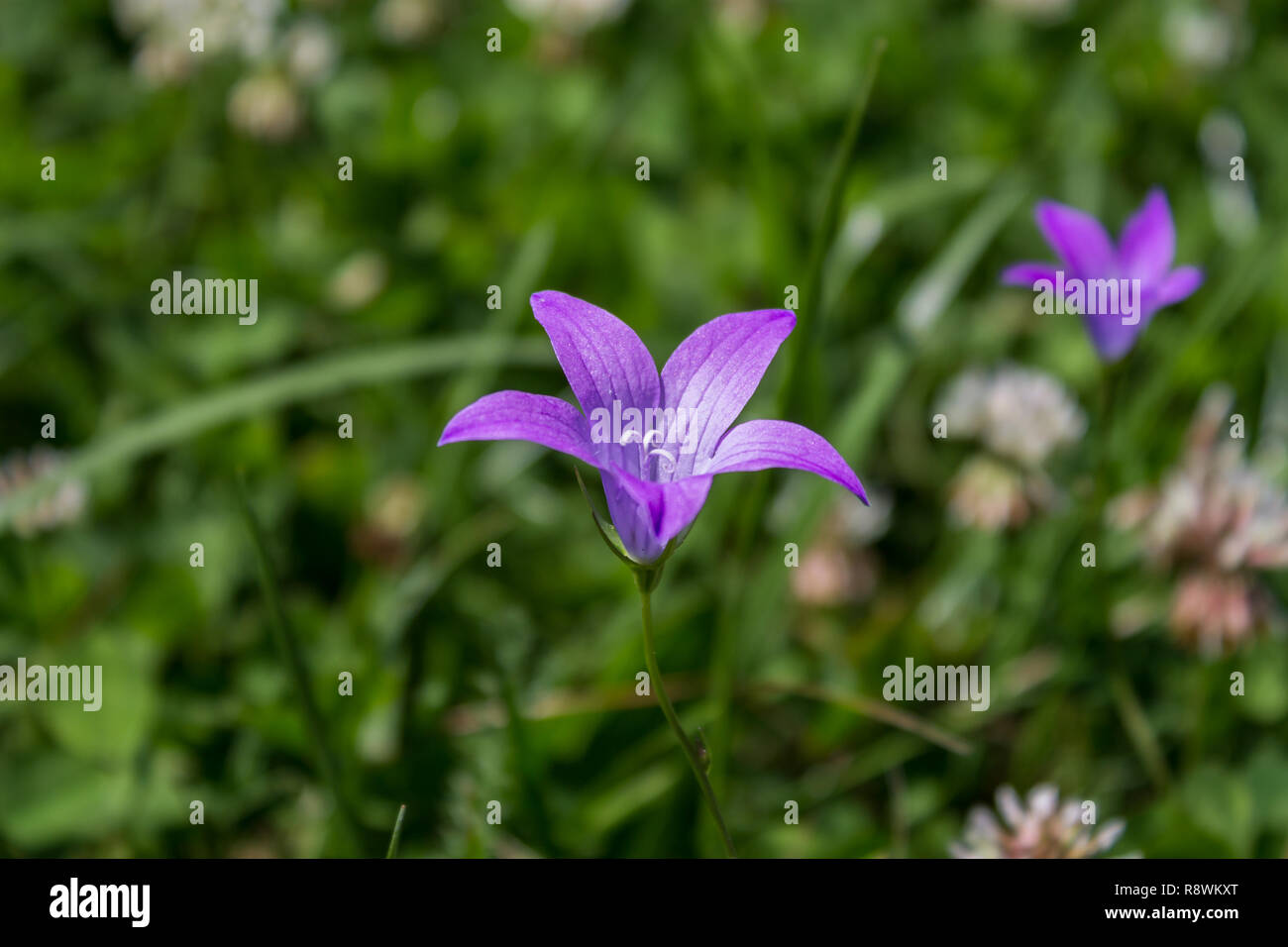 Wildflower with a blurred background - Stock Image