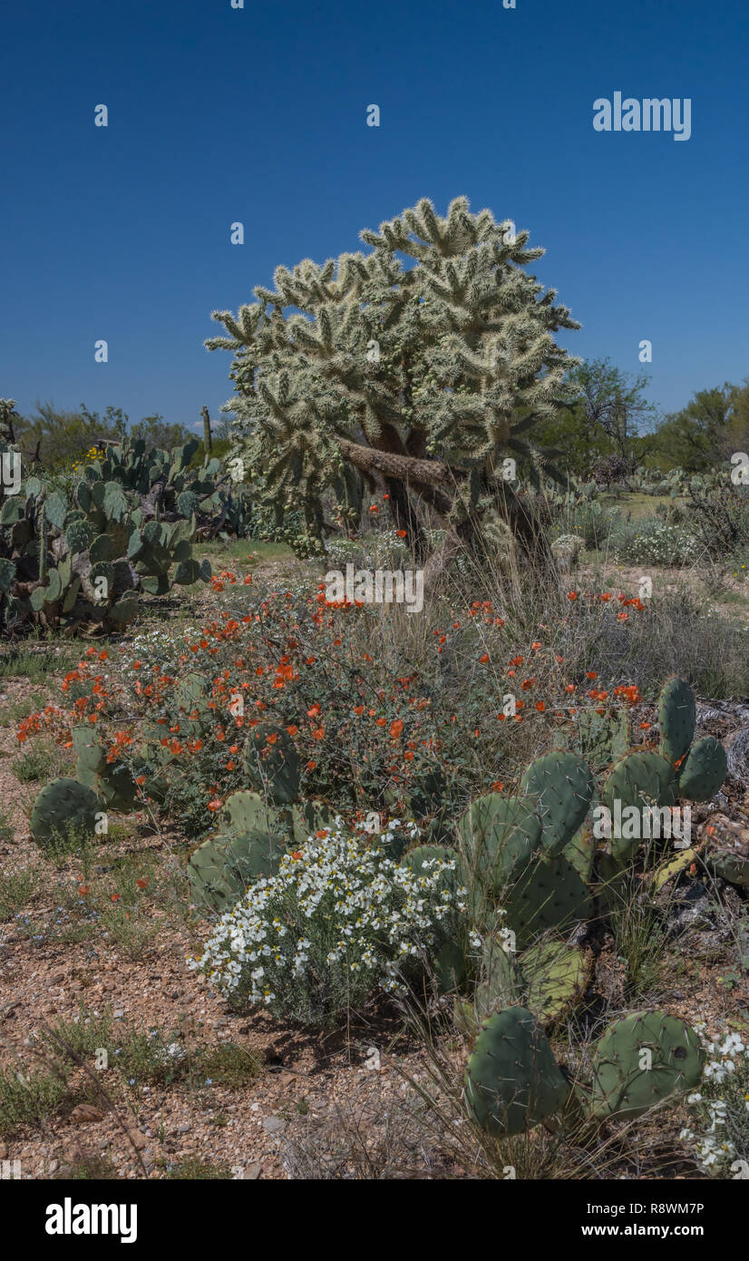 Prickly pear cactus, desert zinnia (Zinnia acerosa), and globe mallow (Sphaeralcea ambigua) below a large cholla in  Arizona's Saguaro National Park - Stock Image