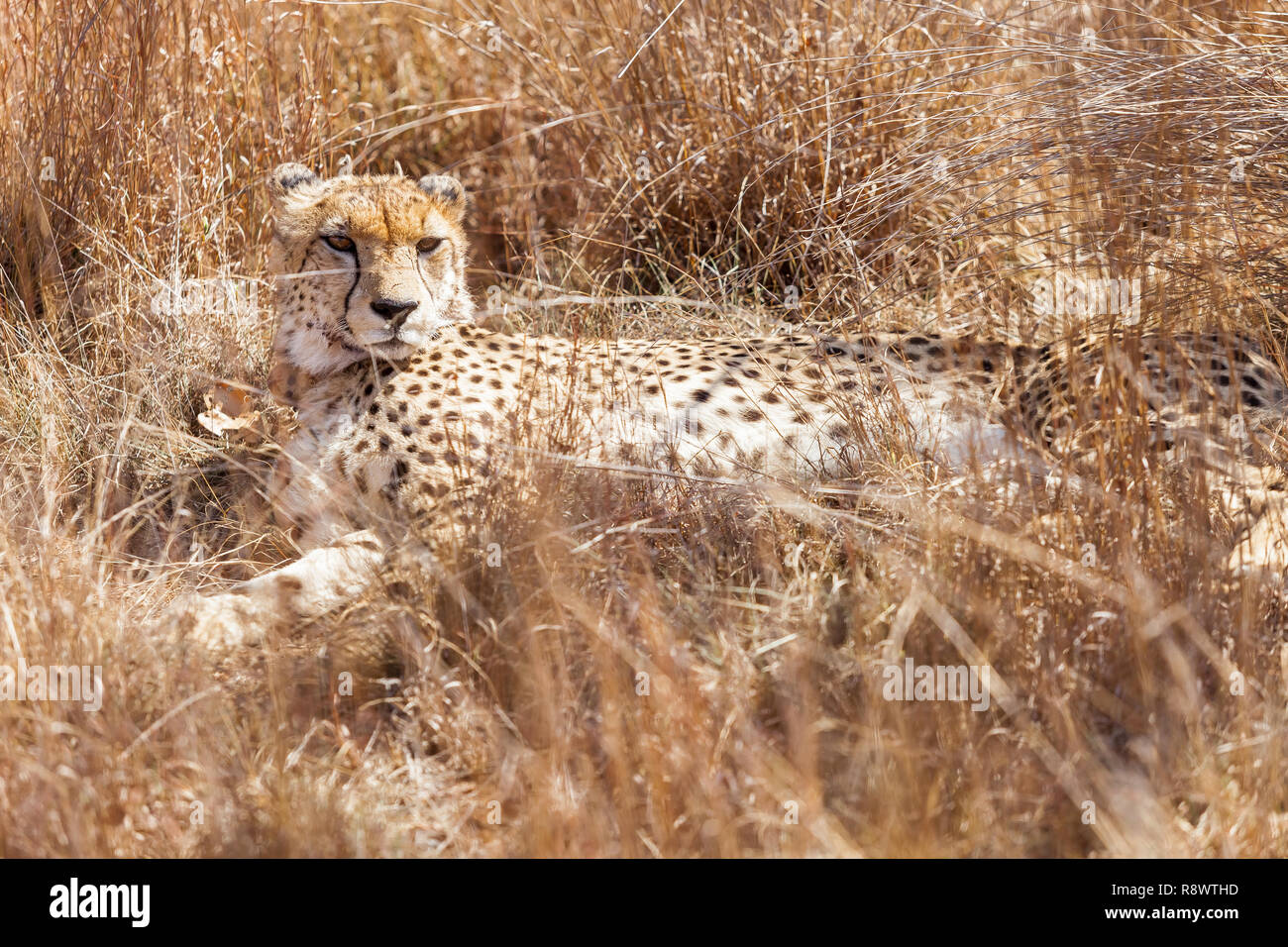 African Cheetah Sitting In Long Grass On Safari In A South