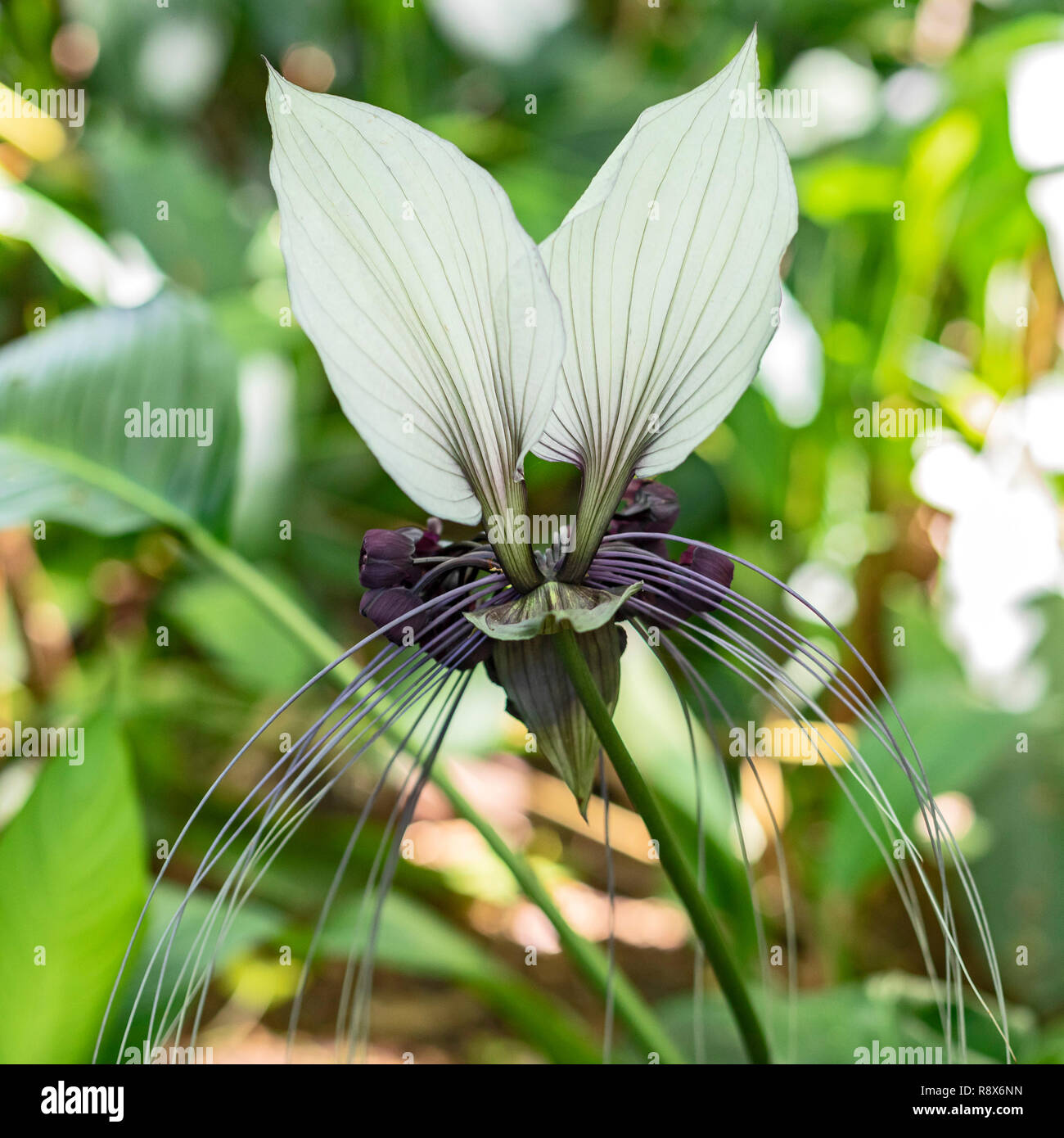 White Bat Flower Stock Photos White Bat Flower Stock Images Alamy
