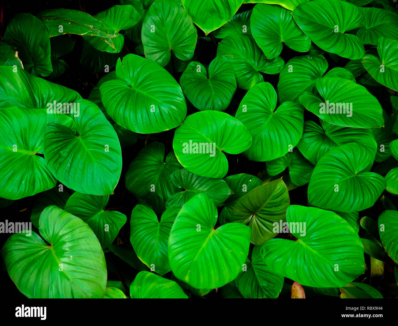 Background Pattern Of Tropical Dark Green Leaves Nature Background Concept Stock Photo Alamy I use them to frame areas and create privacy. https www alamy com background pattern of tropical dark green leaves nature background concept image229230320 html