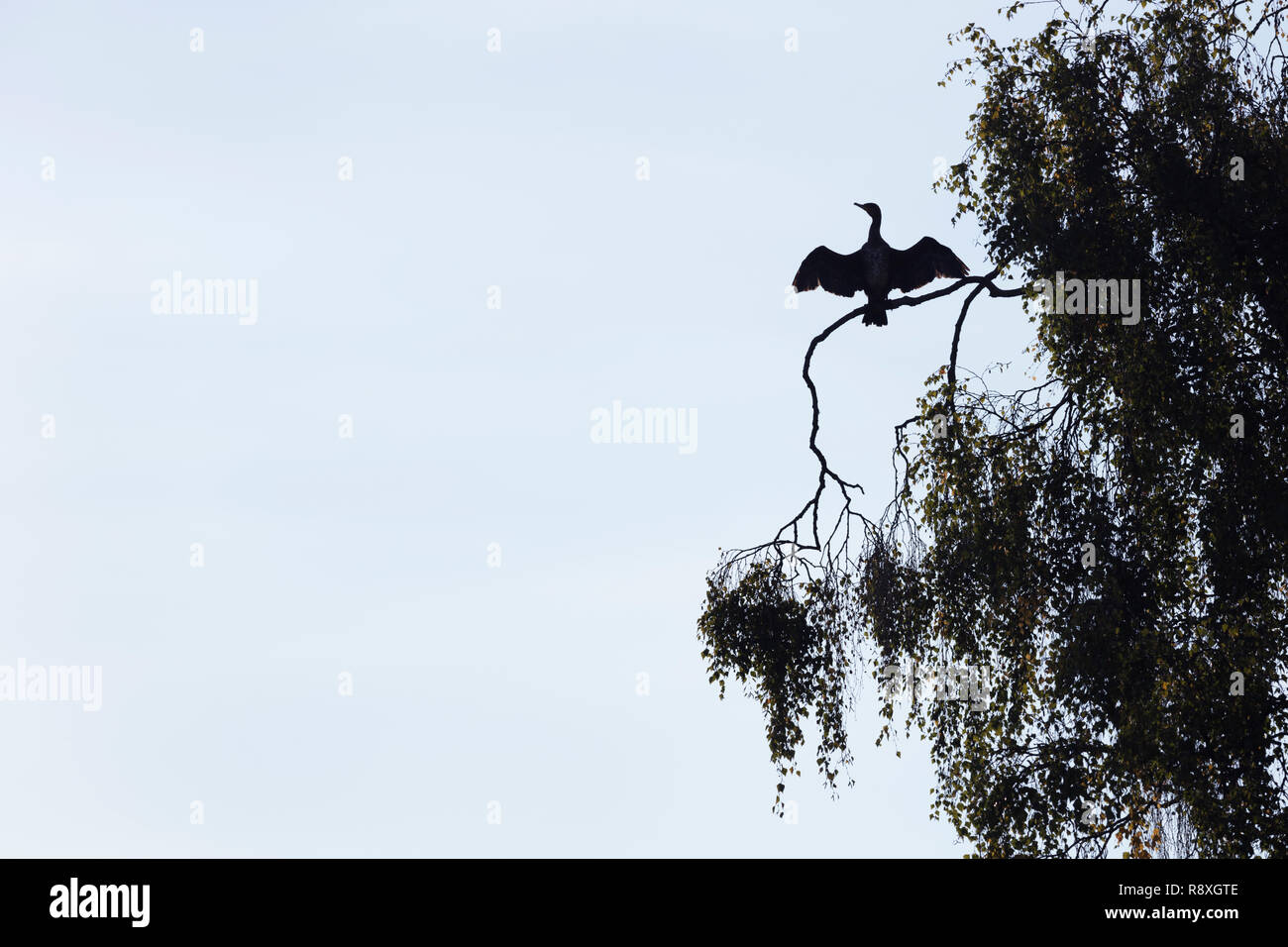 Silhouette of a Great Cormorant perched in a tree with its wings spread to dry off Stock Photo