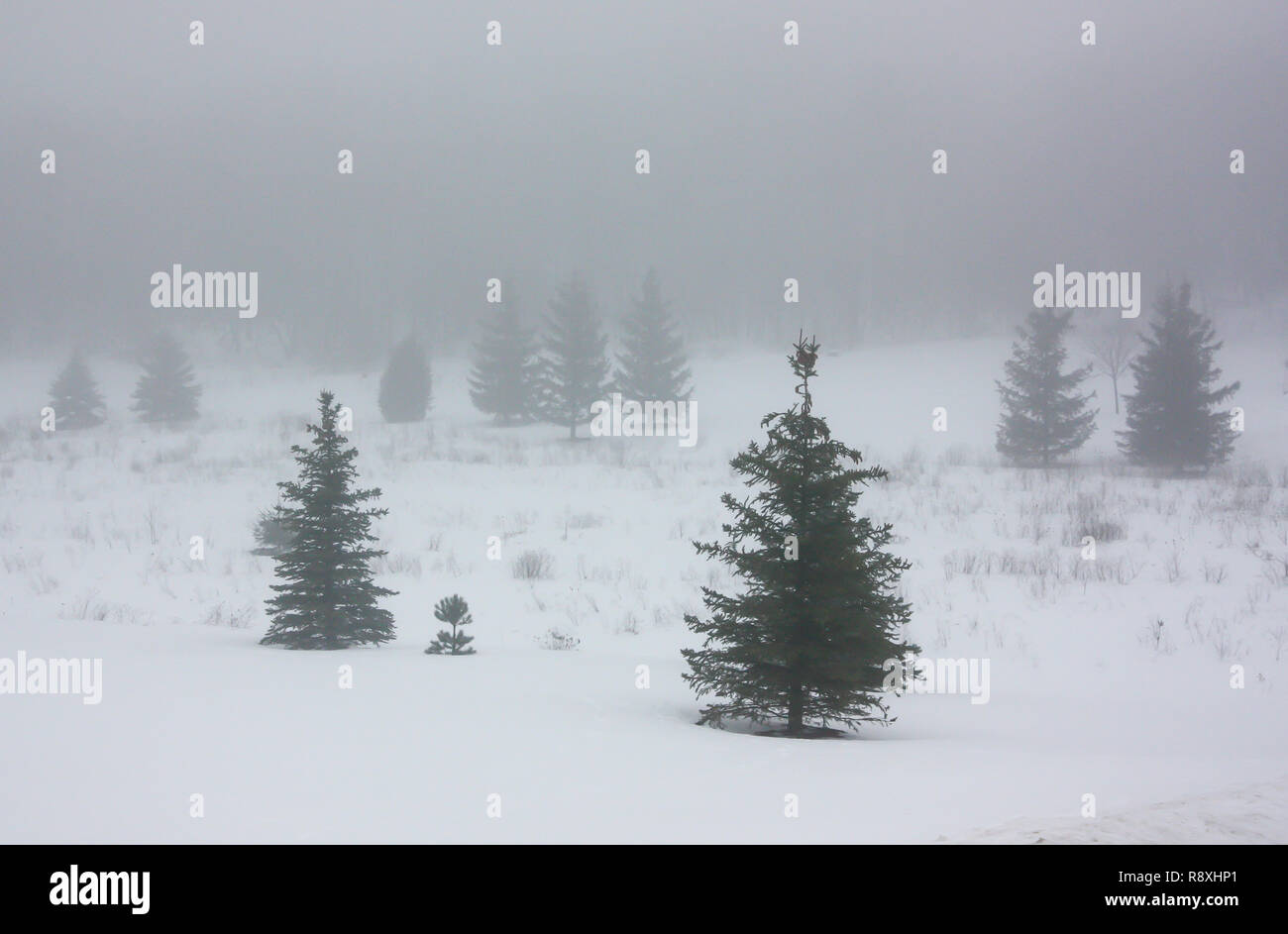Dense fog hangs over a meadow with snow cover and evergreen trees. - Stock Image