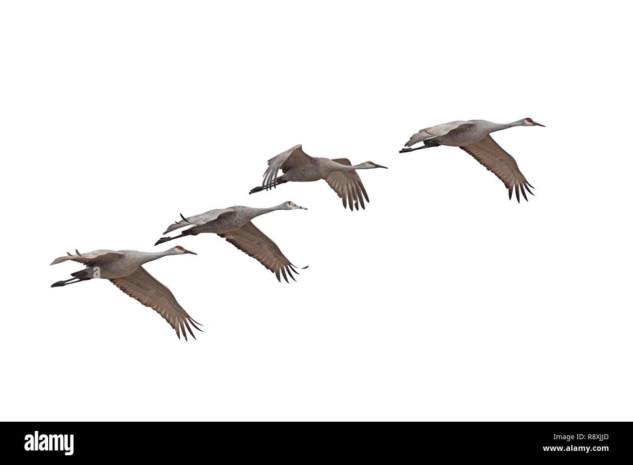 Sandhill cranes fly across a white background. - Stock Image