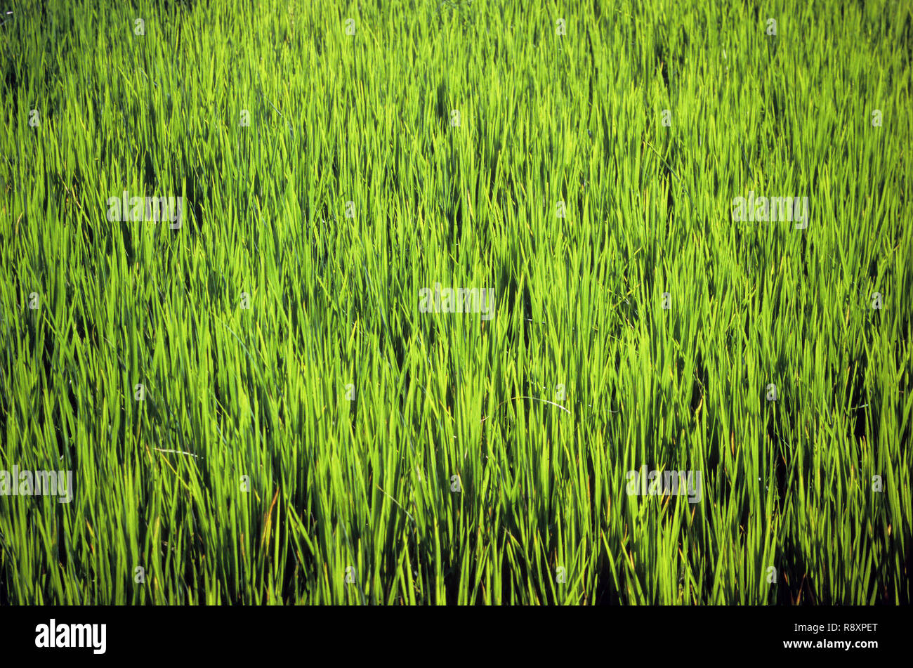 Paddy rice crop growing in fields in India - Stock Image
