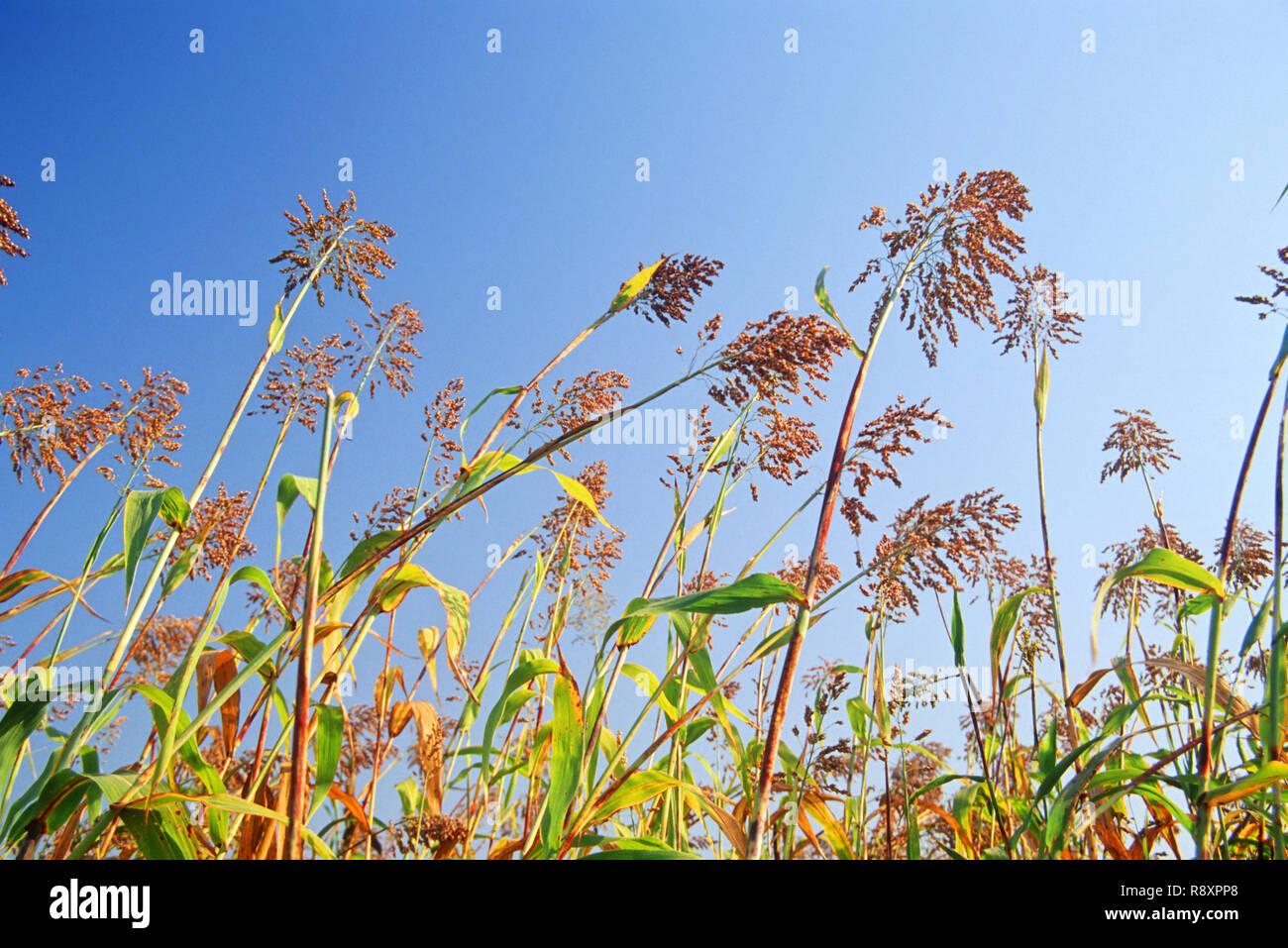 Bajra Fields - Stock Image