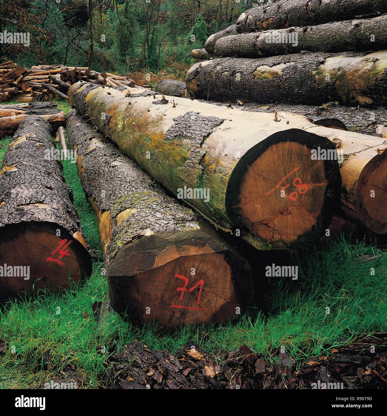 Spain, Asturias, Llanes, trunks of eucalyptus stored in a clearing Stock Photo