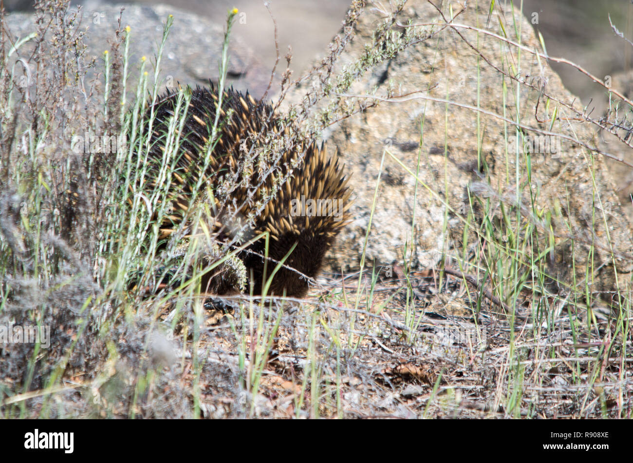 Echidna foraging in a grassy area on a sunny day Stock Photo
