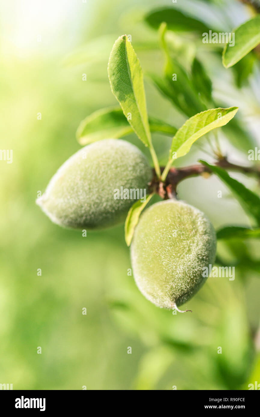 green almonds hanging from a twig - Stock Image