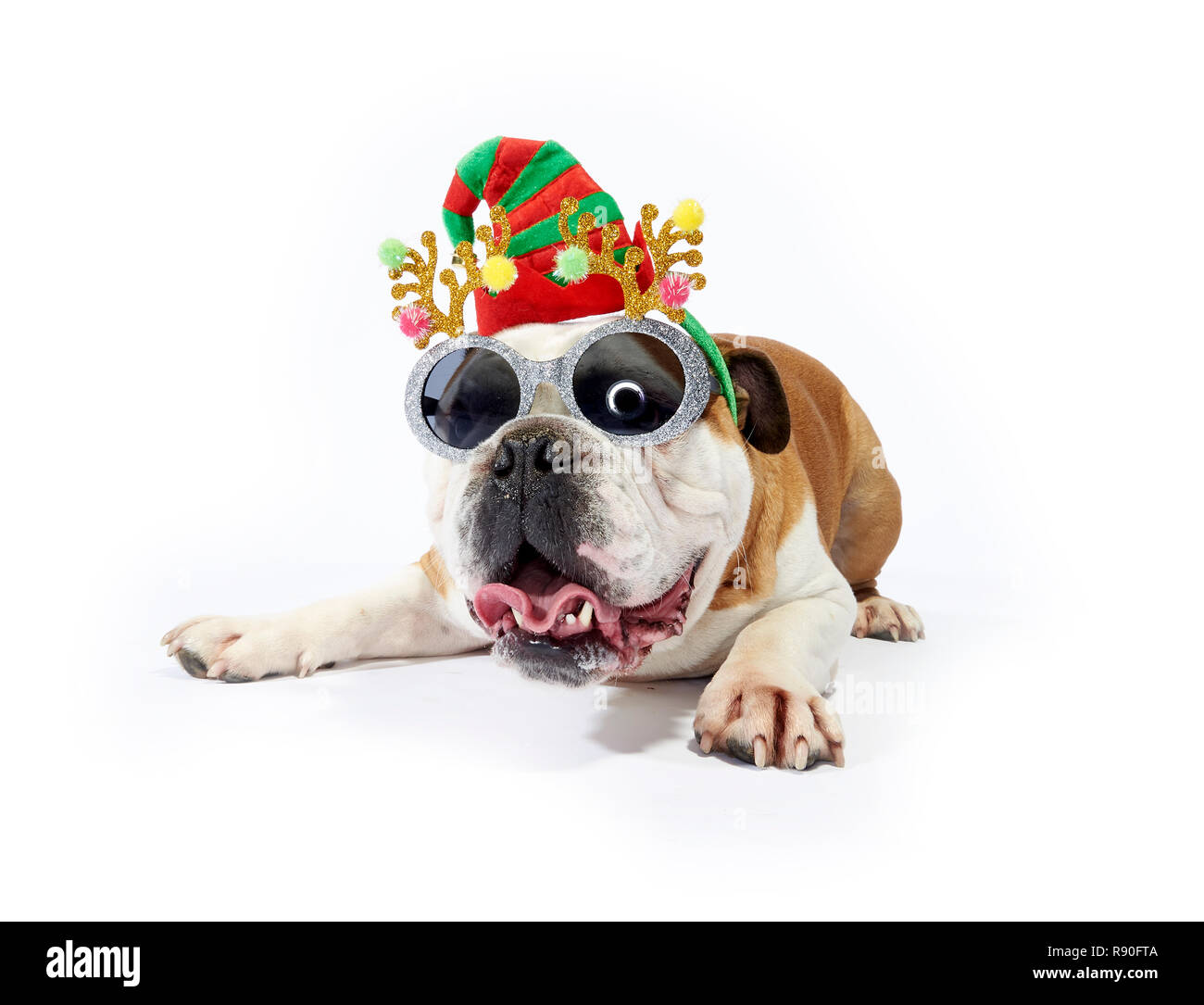 A English Bulldog showing some festive cheer by wearing sunglasses and festive antlers Stock Photo