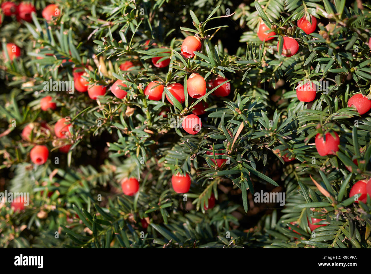 Taxus baccata Stock Photo