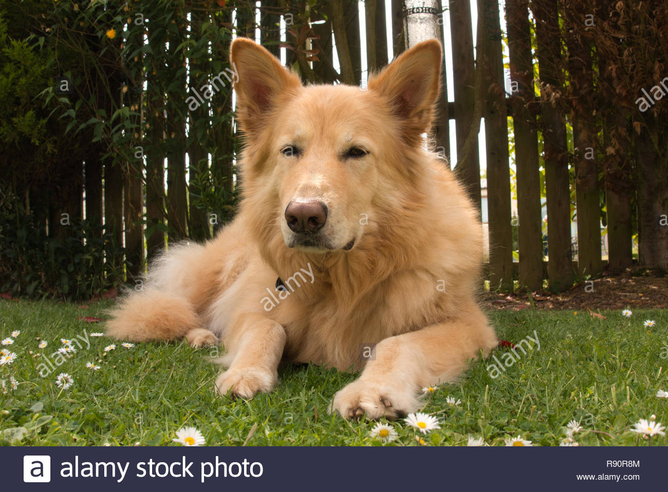 Sandy The German Shepherd Golden Retriever Cross Resting In The