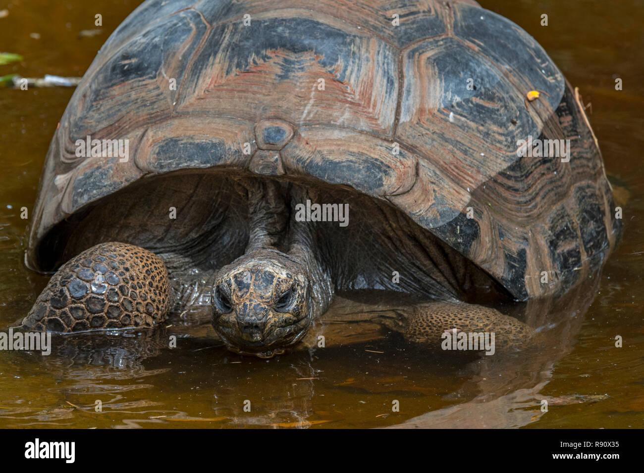 Aldabra giant tortoise (Aldabrachelys gigantea / Testudo gigantea) native to the islands of the Aldabra Atoll in the Seychelles - Stock Image