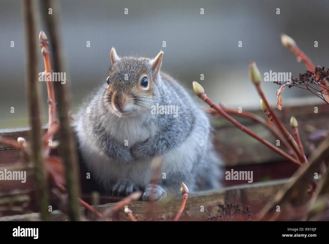 Eastern Grey Squirrel Sciurus carolinensis sitting on a garden fence in a Scottish Garden. - Stock Image