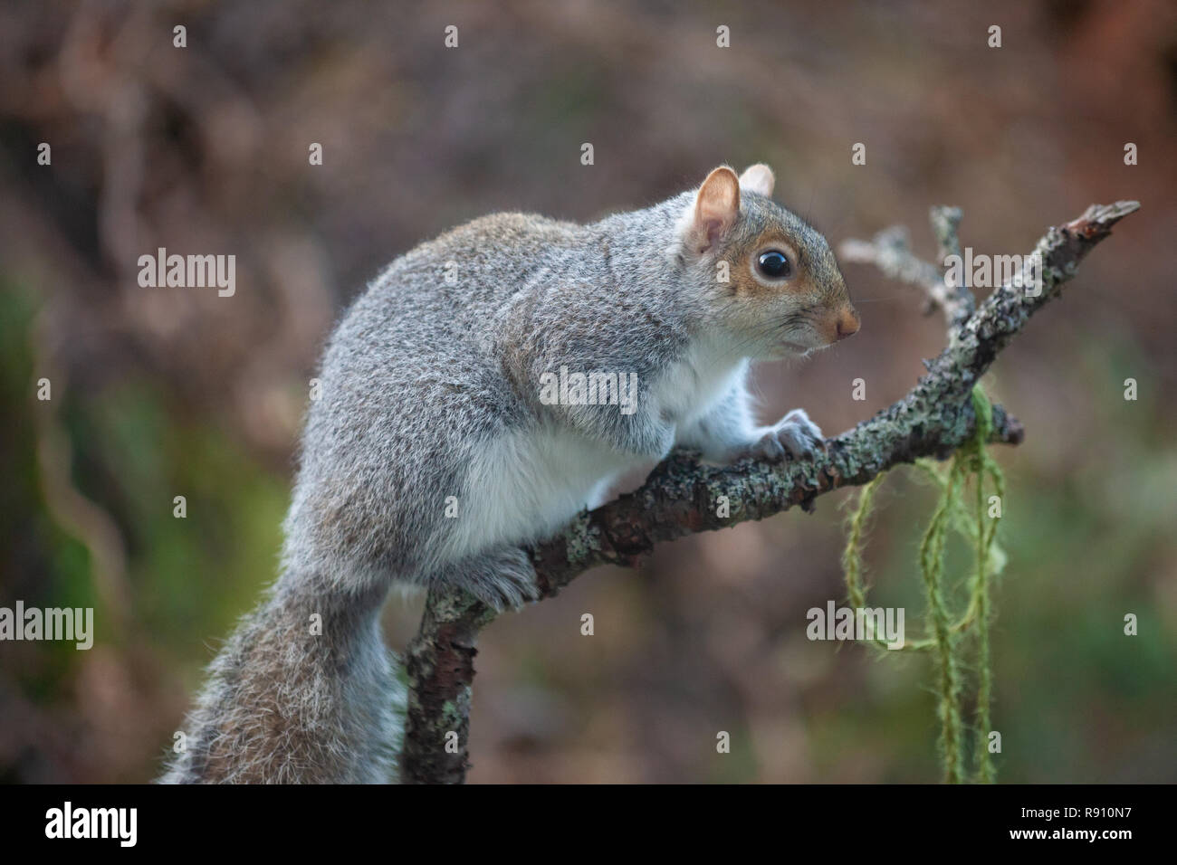 Eastern Grey Squirrel Sciurus carolinensis on a branch in a Scottish Garden. - Stock Image