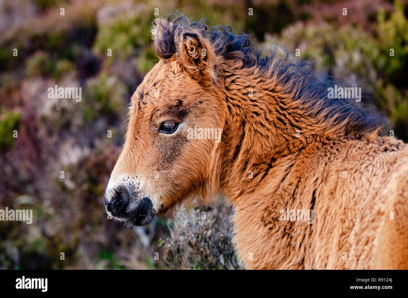 Wild pony foal amongst the heather landscape of Loch Druidibeg, Isle of South Uist, Outer Hebrides, Scotland, U.K. - Stock Image