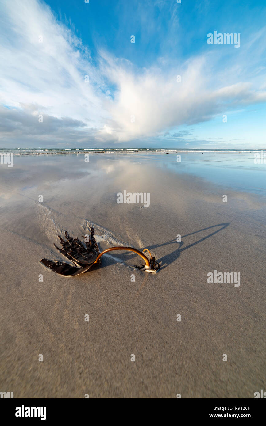 Seaweed on a clear sandy beach with a dramatic sky - Stock Image