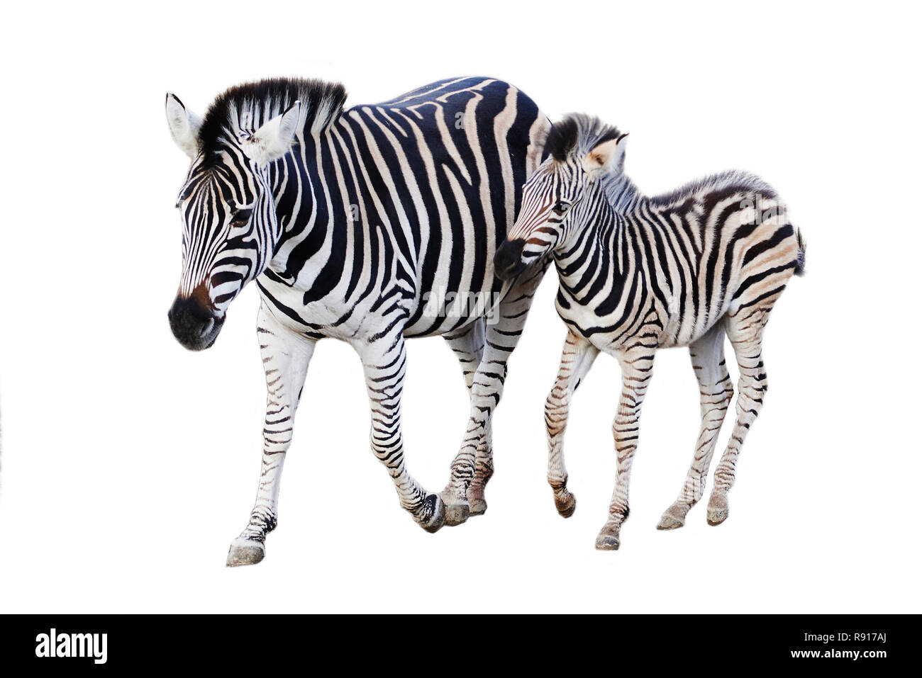Mother and child baby zebra isolated on white background Stock Photo