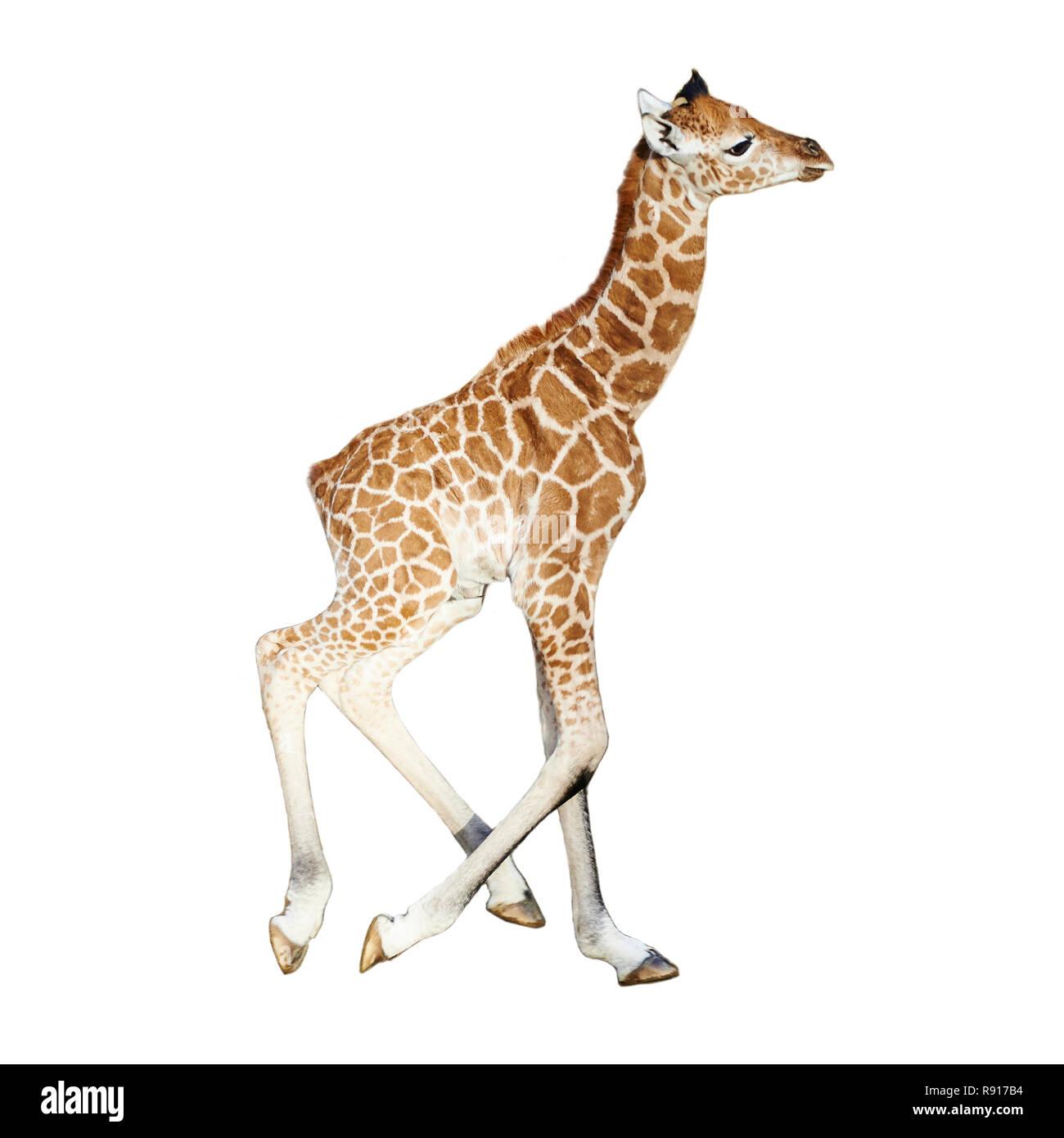 Young child giraffe running, isolated on white background Stock Photo