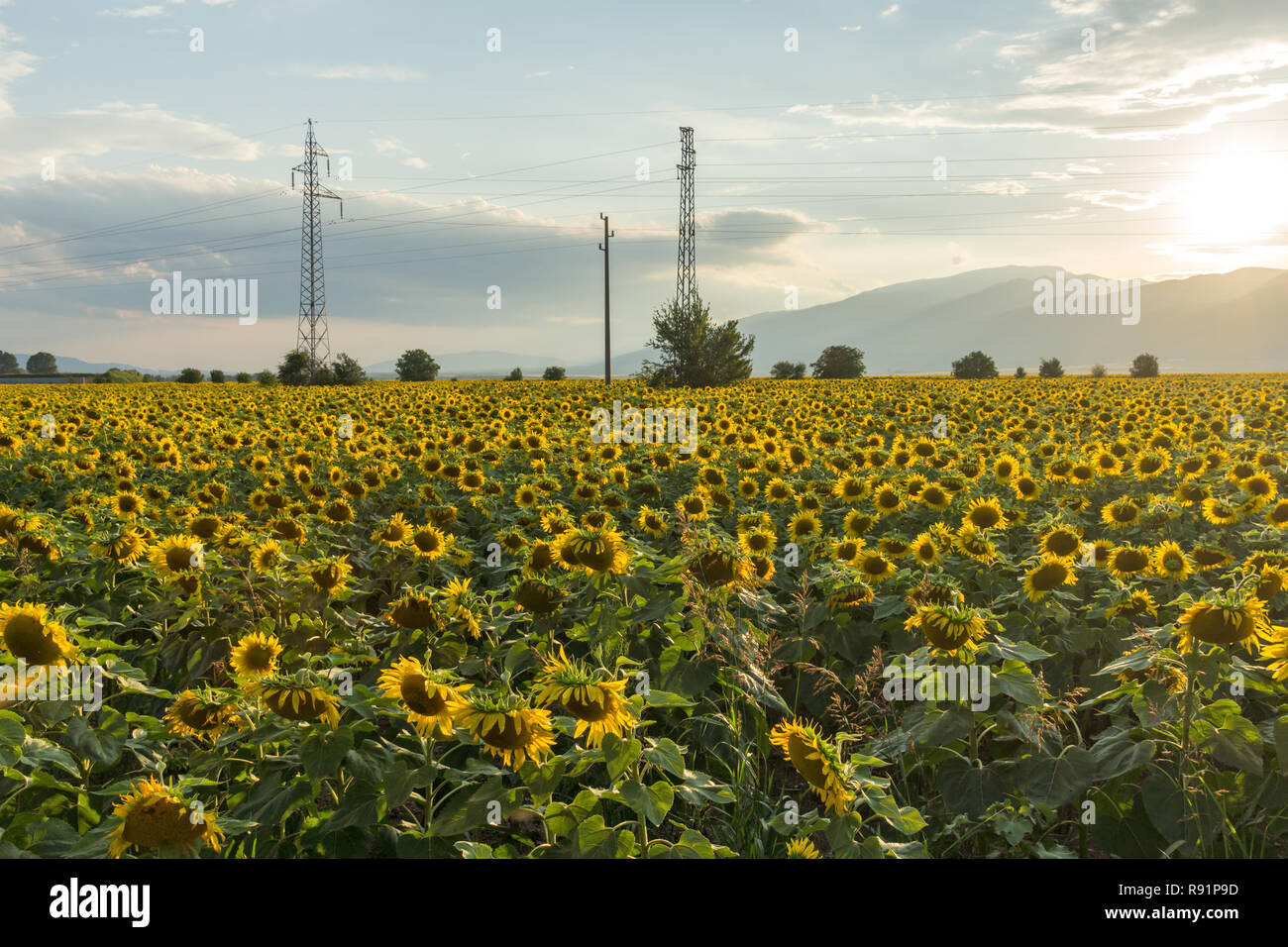 Sunset view of sunflower field at Kazanlak Valley, Stara Zagora Region, Bulgaria - Stock Image