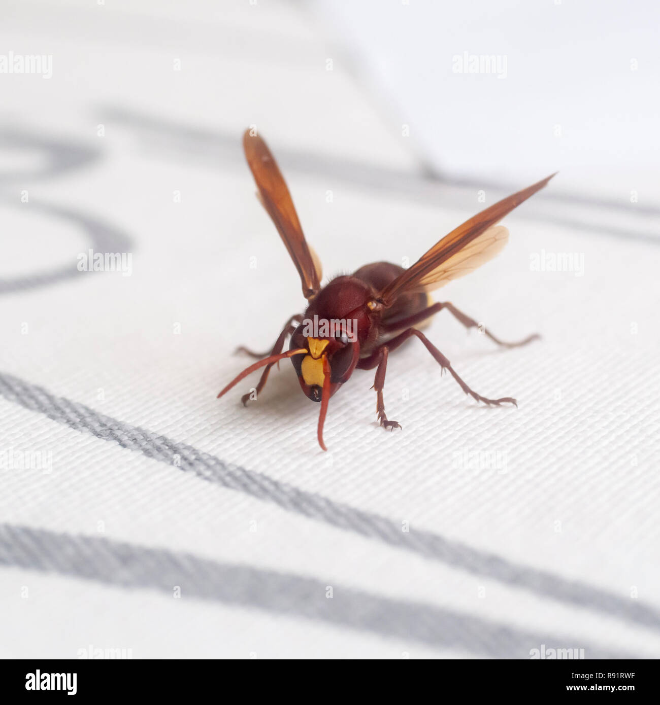 close up of an Oriental hornet, (Vespa orientalis) on white background. Oriental hornet, is a social insect of the family Vespidae. The Oriental horne - Stock Image
