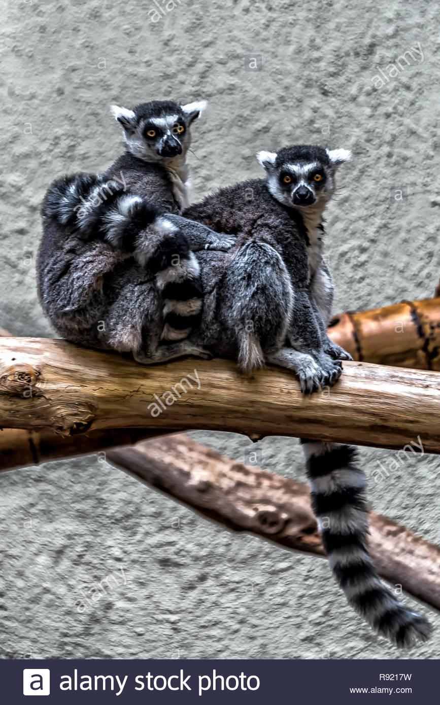 Lemur me Alone - Stock Image