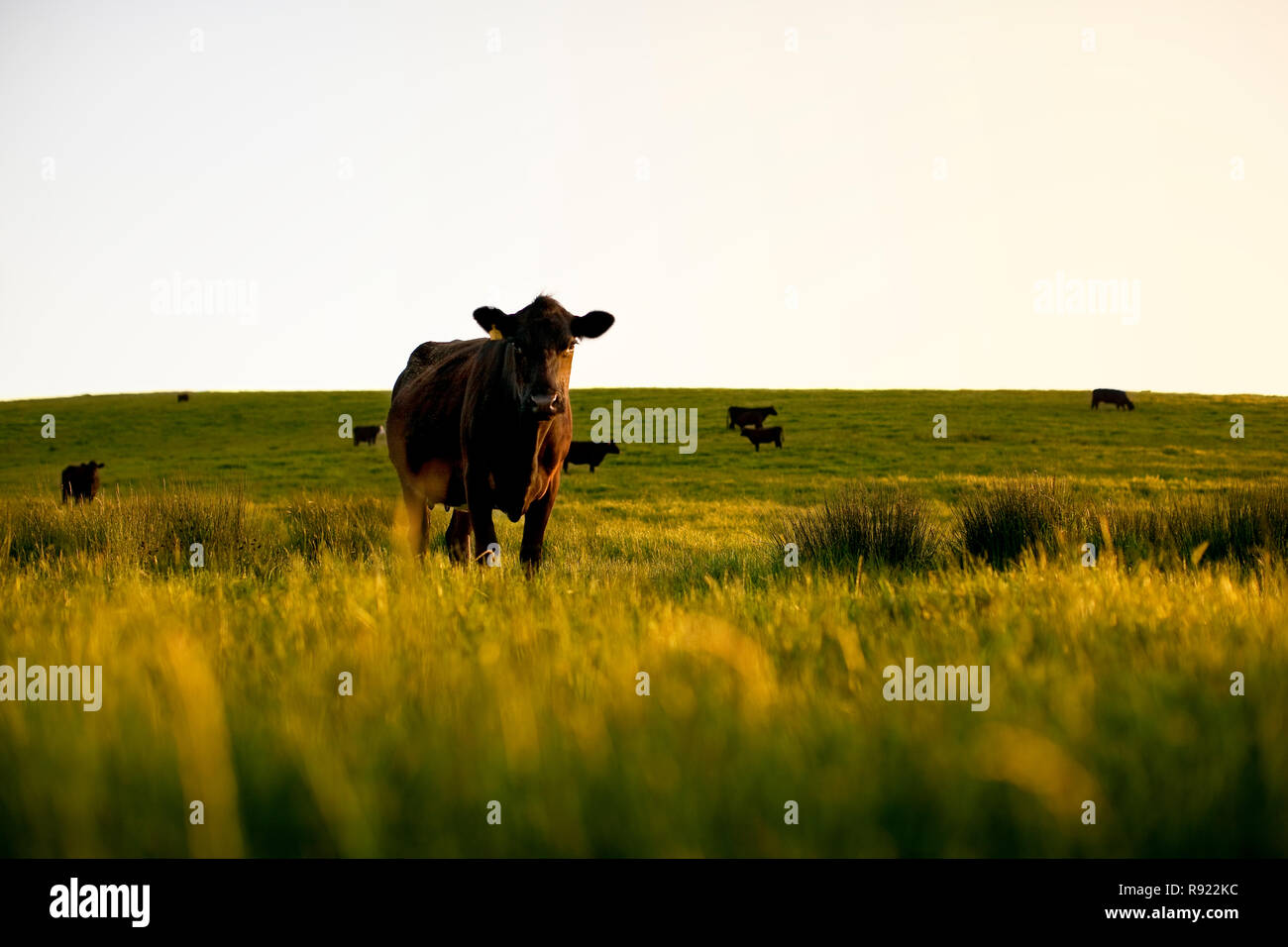 Cows standing in a grassy field. - Stock Image