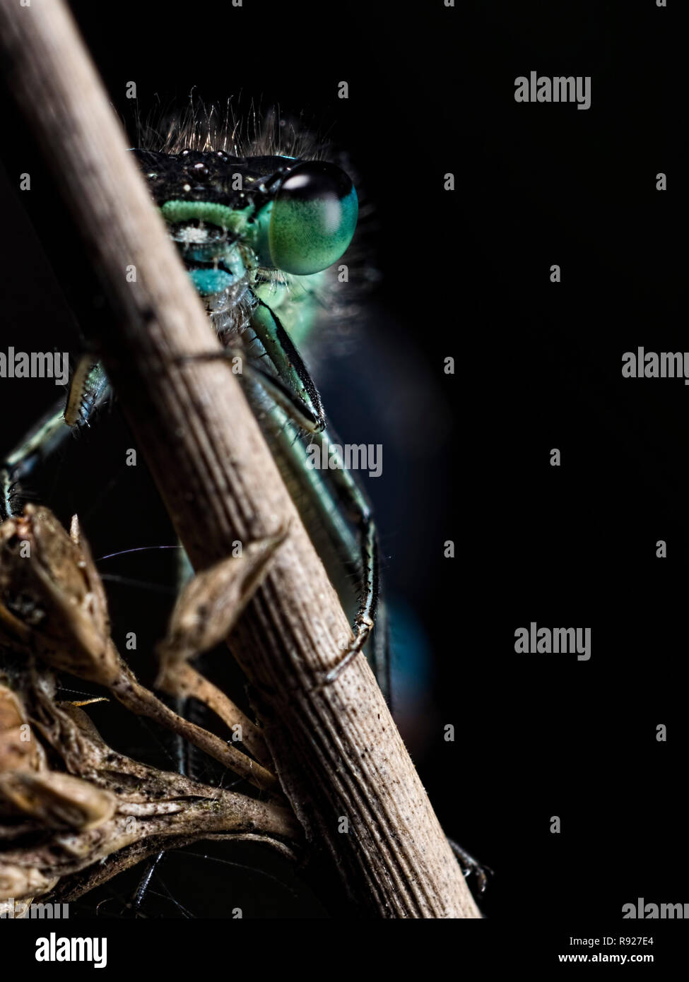 Out of the Dark. A Blue-tailed Damselfly (Ischnura elegans) appearing out of the darkness - Stock Image
