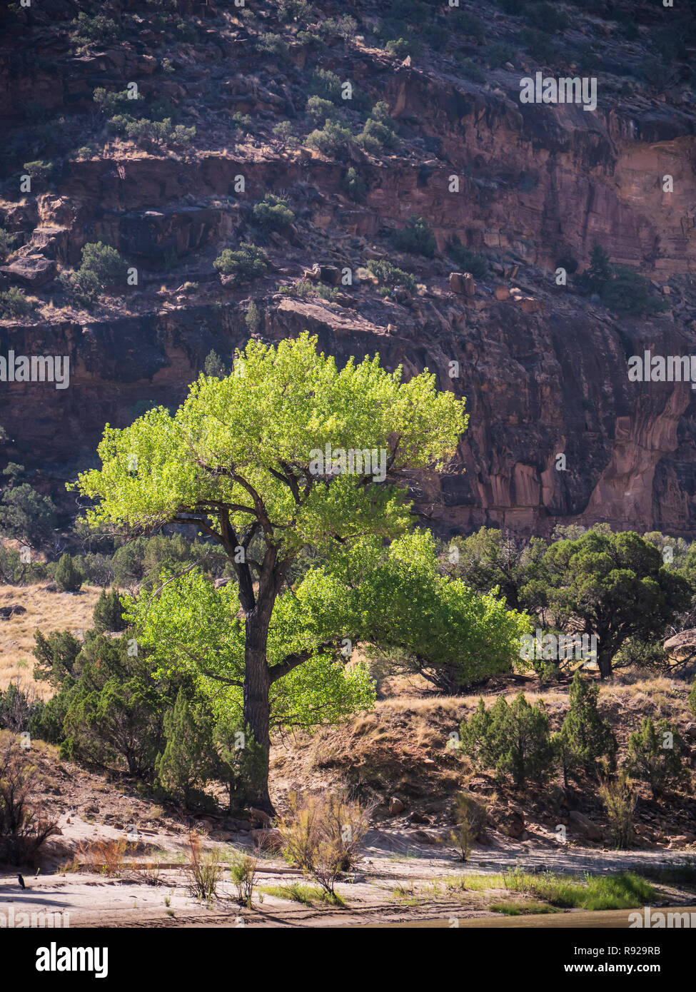 Cottonwood tree beside the river, Desolation Canyon north of Green River, Utah. - Stock Image
