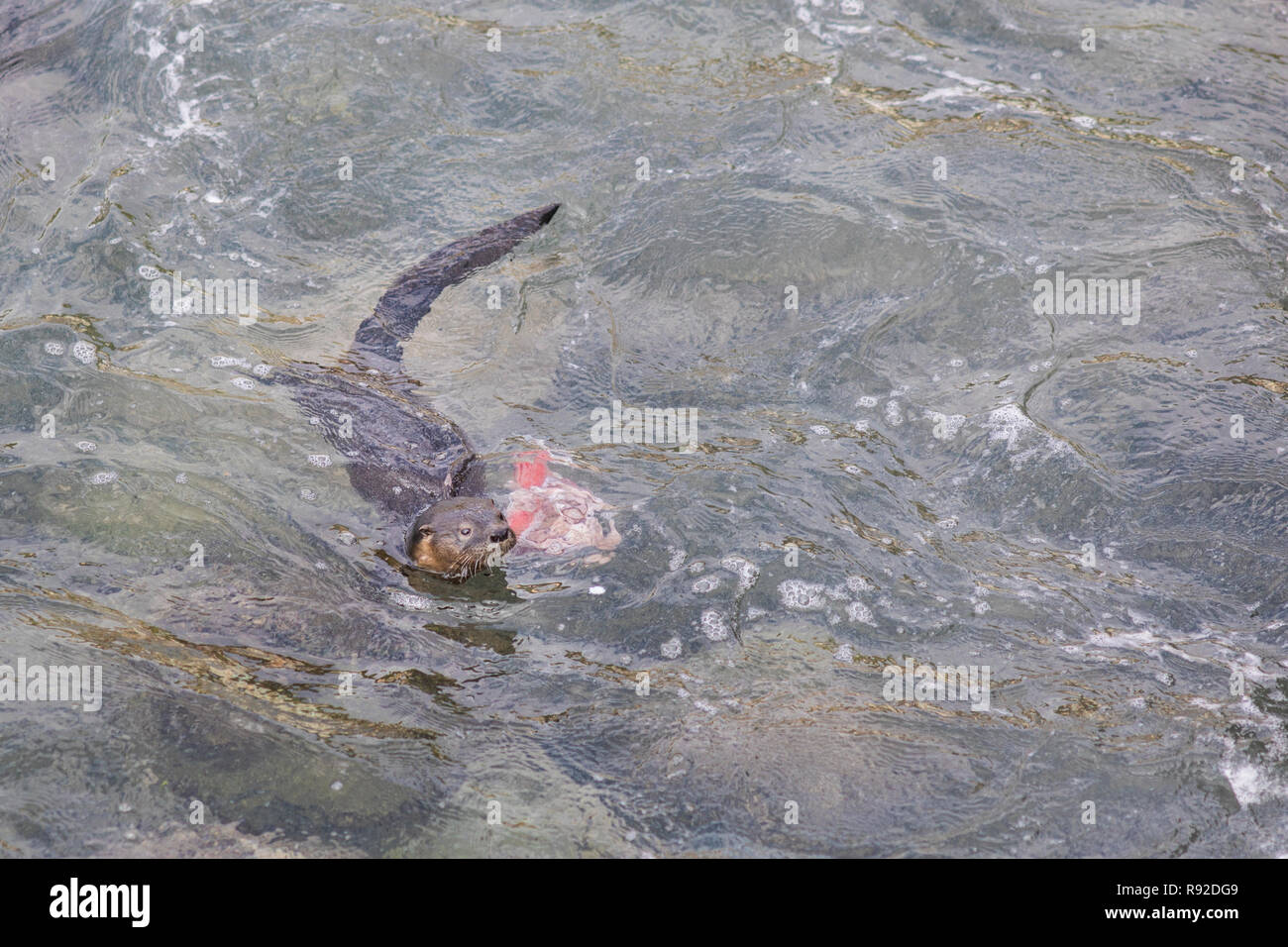 A Marine Otter diving and playing with human dirt on polluted waters at Quintay Pier an old whale fishing village close to Santiago de City Stock Photo