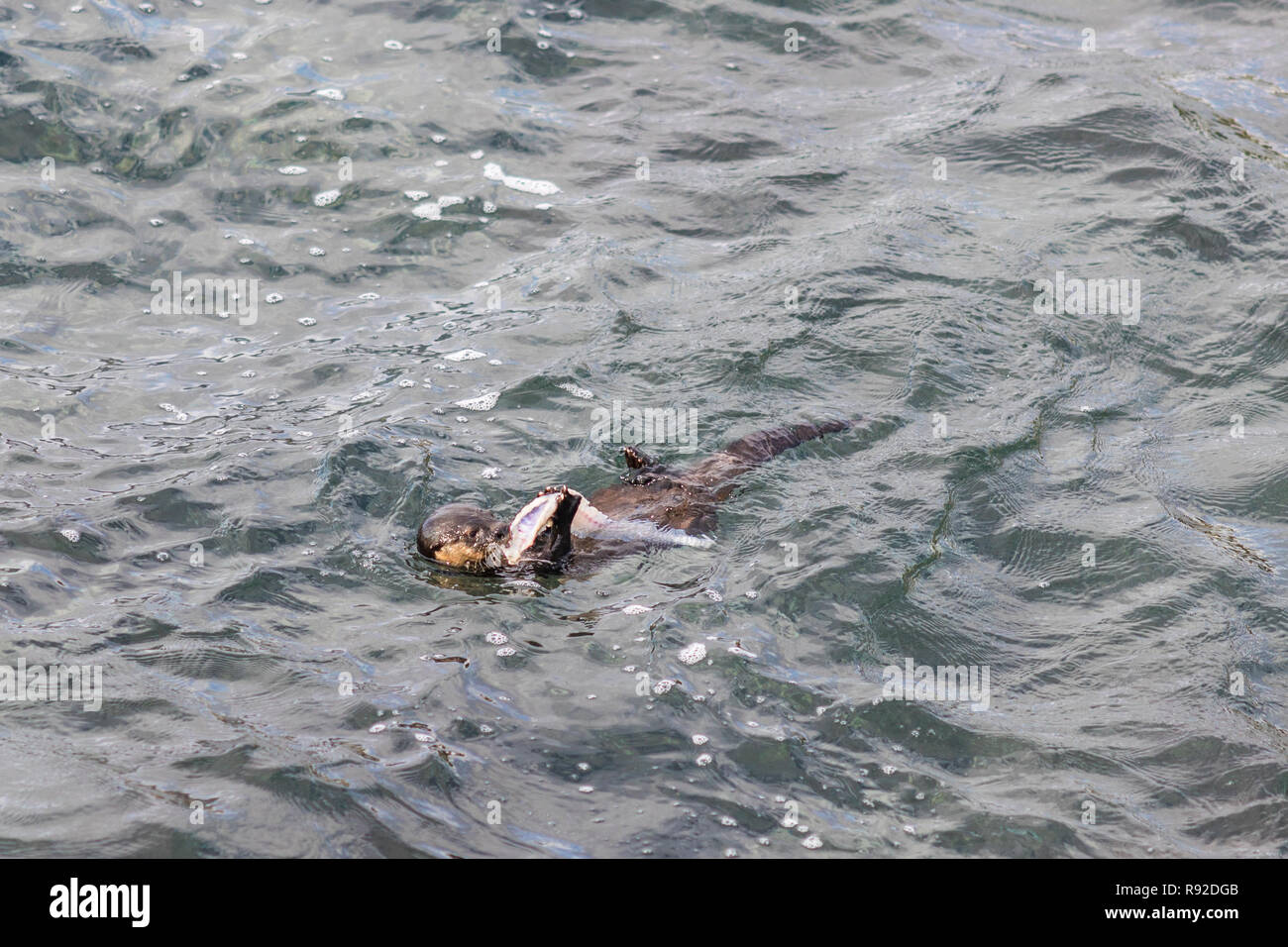 A Marine Otter diving and playing with human dirt on polluted waters at Quintay Pier an old whale fishing village close to Santiago de City - Stock Image