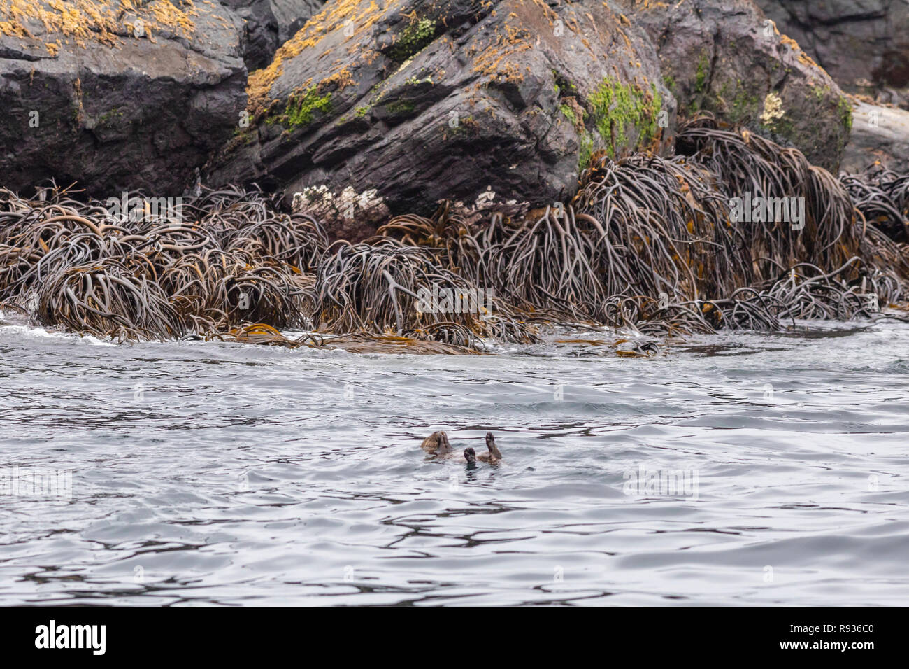Chanaral Island in Atacama Desert, Chile, is an amazing place for seeing wildlife like the Mariner Otter. Seagull stealing food from the Marine Otter - Stock Image