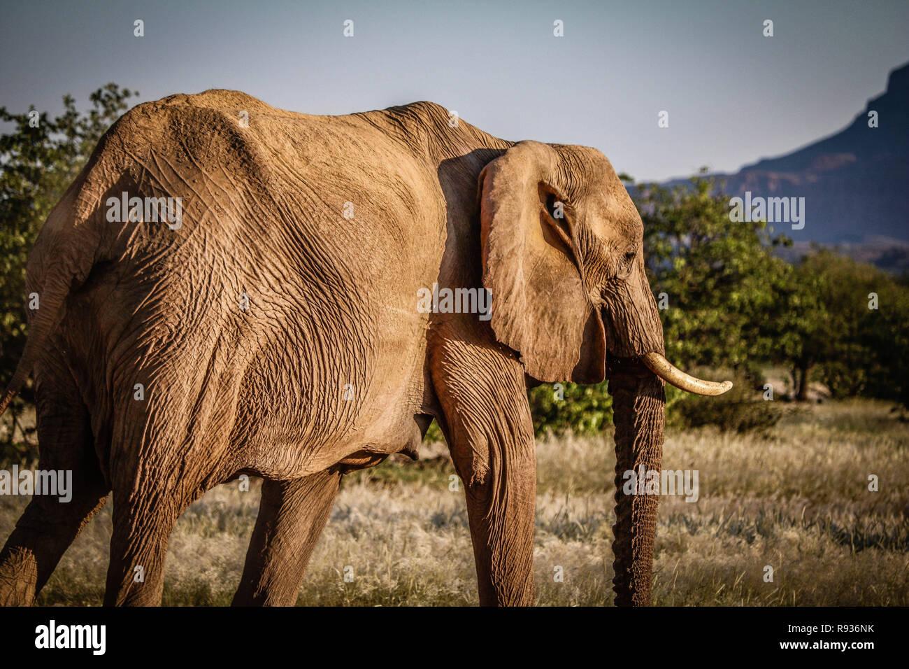 Wild Namibian Elephant - Stock Image