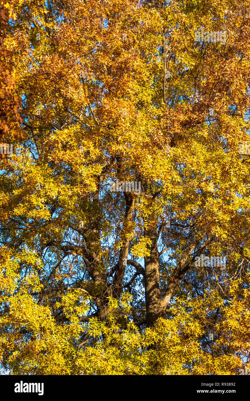 Colorful autumn leaves on an oak tree in Muskogee, Oklahoma. Stock Photo