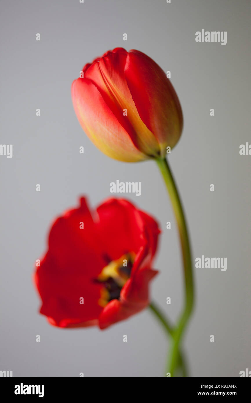 red tulip - Stock Image