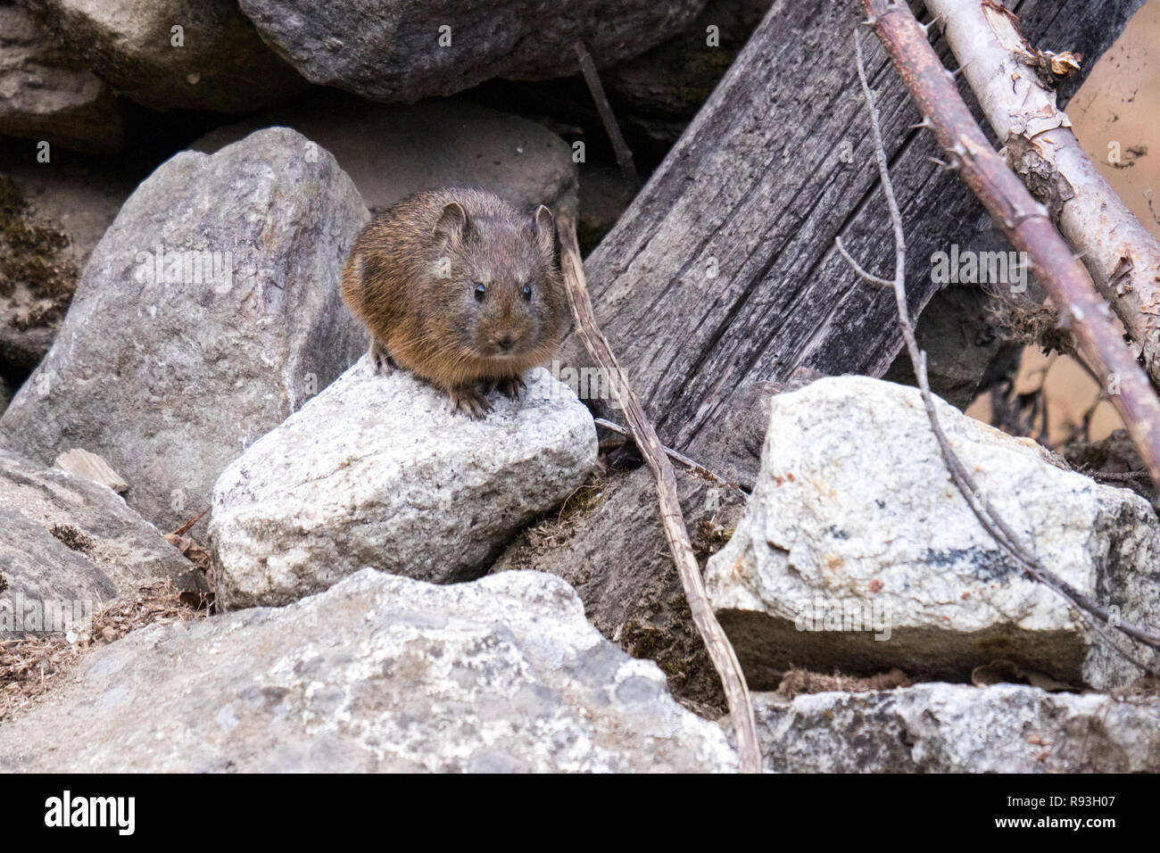 brown rat (Rattus norvegicus), also known as the common rat, in Nepal - Stock Image