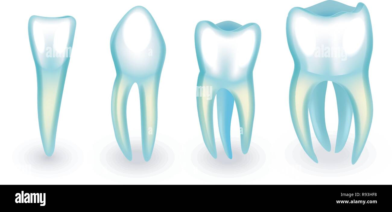 vector illustration of human teeth. incisor, canine and molars - Stock Image