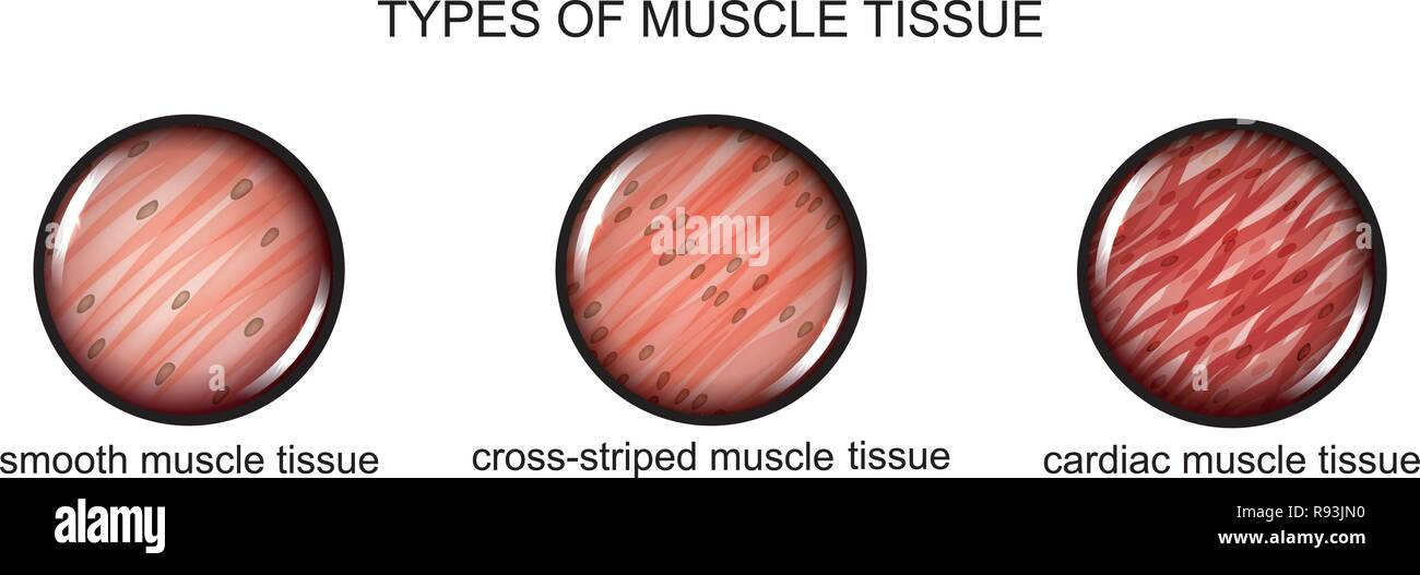vector illustration of types of muscle tissue - Stock Vector