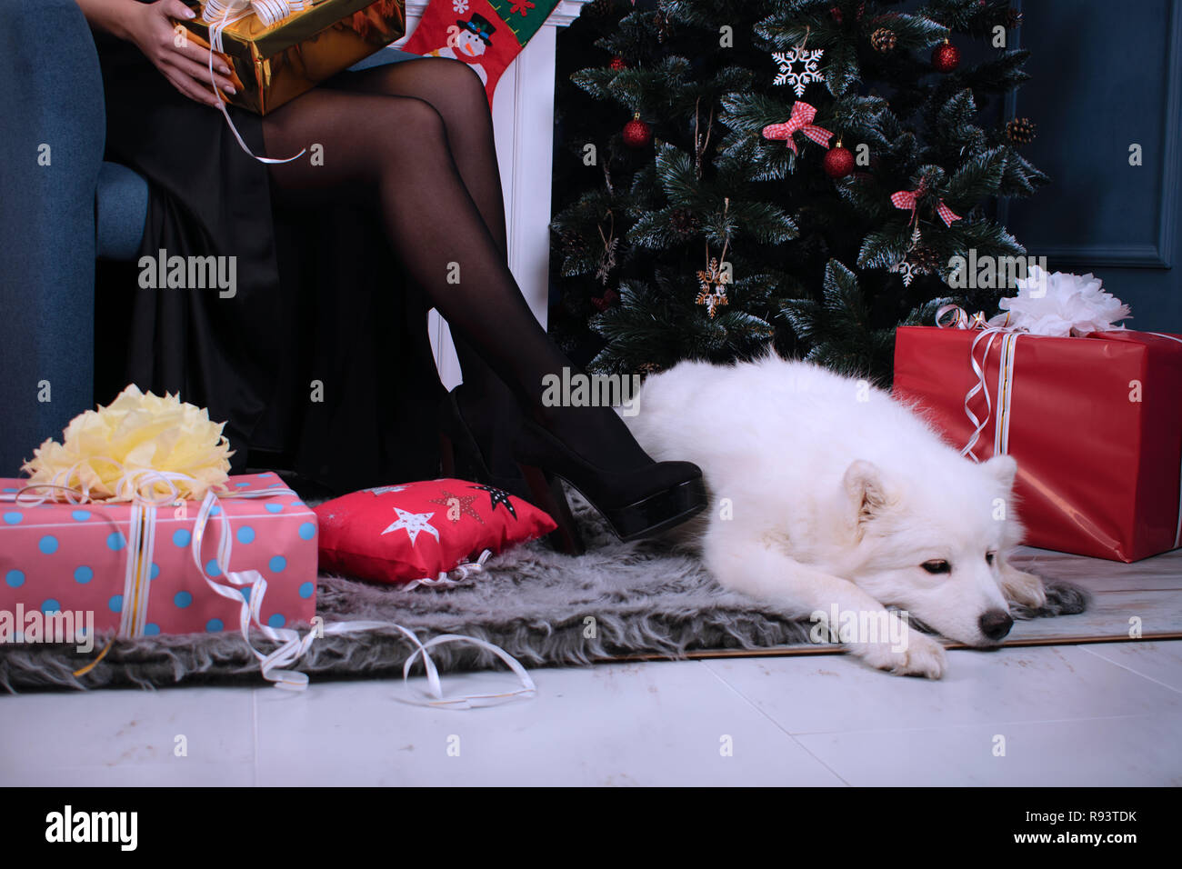 Christmas portrait of a Samoyed dog, a fluffy white dog on the background of beautiful long female legs, gifts, a fireplace, New Year and Christmas