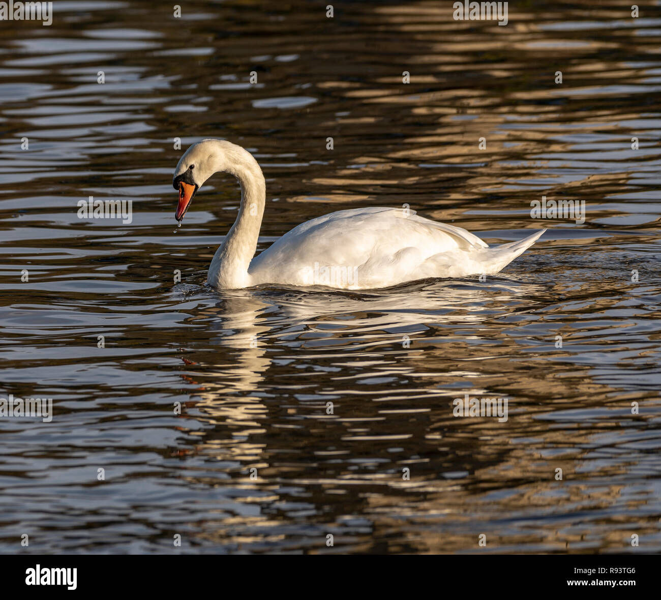 Swans at the Swan sanctuary on the bank of the River Severn in Worcester, UK Stock Photo