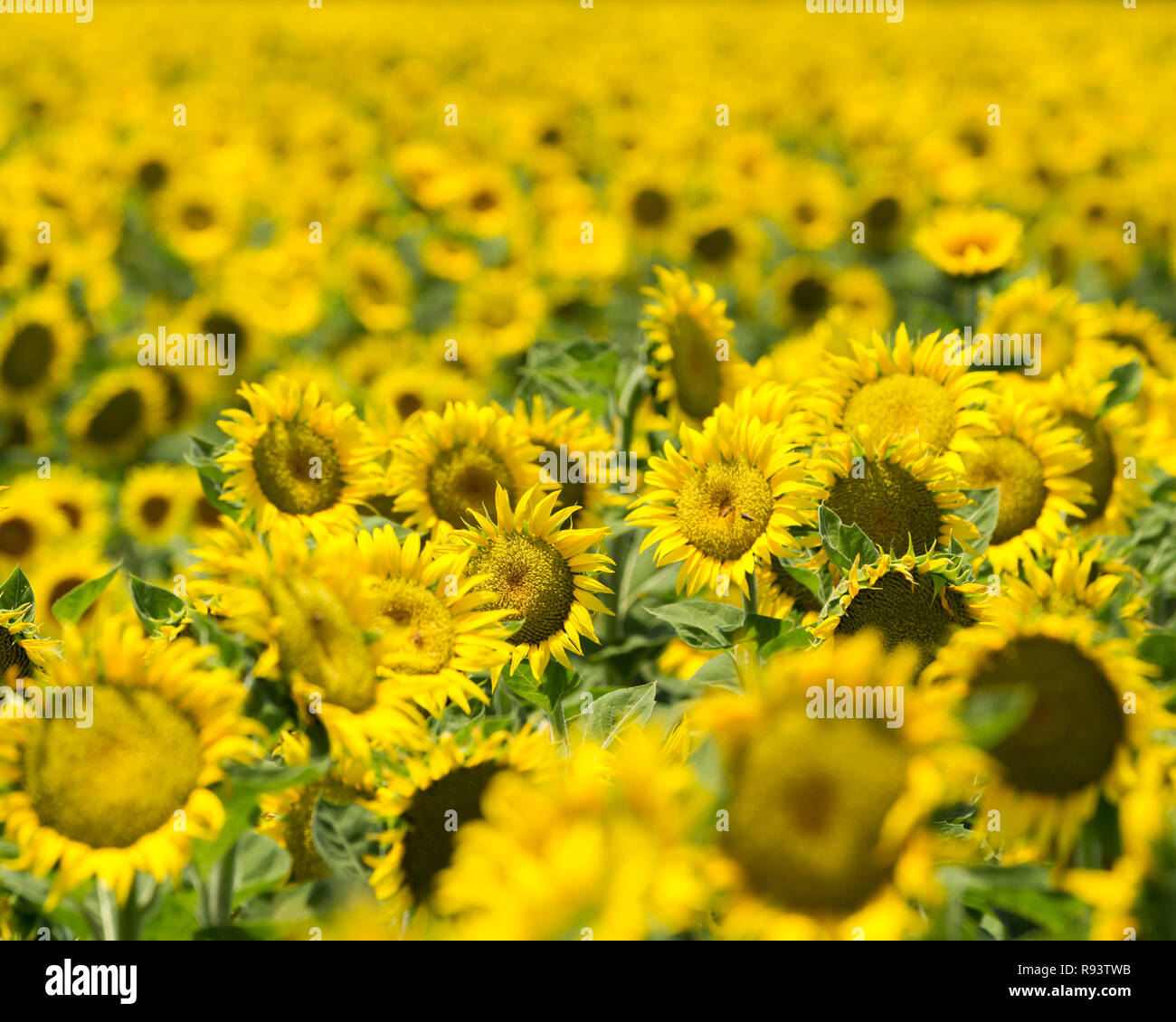 Sunny Disposition - Sunflower field glows happy yellow as far as the eye can see. Yolo County, California, USA - Stock Image
