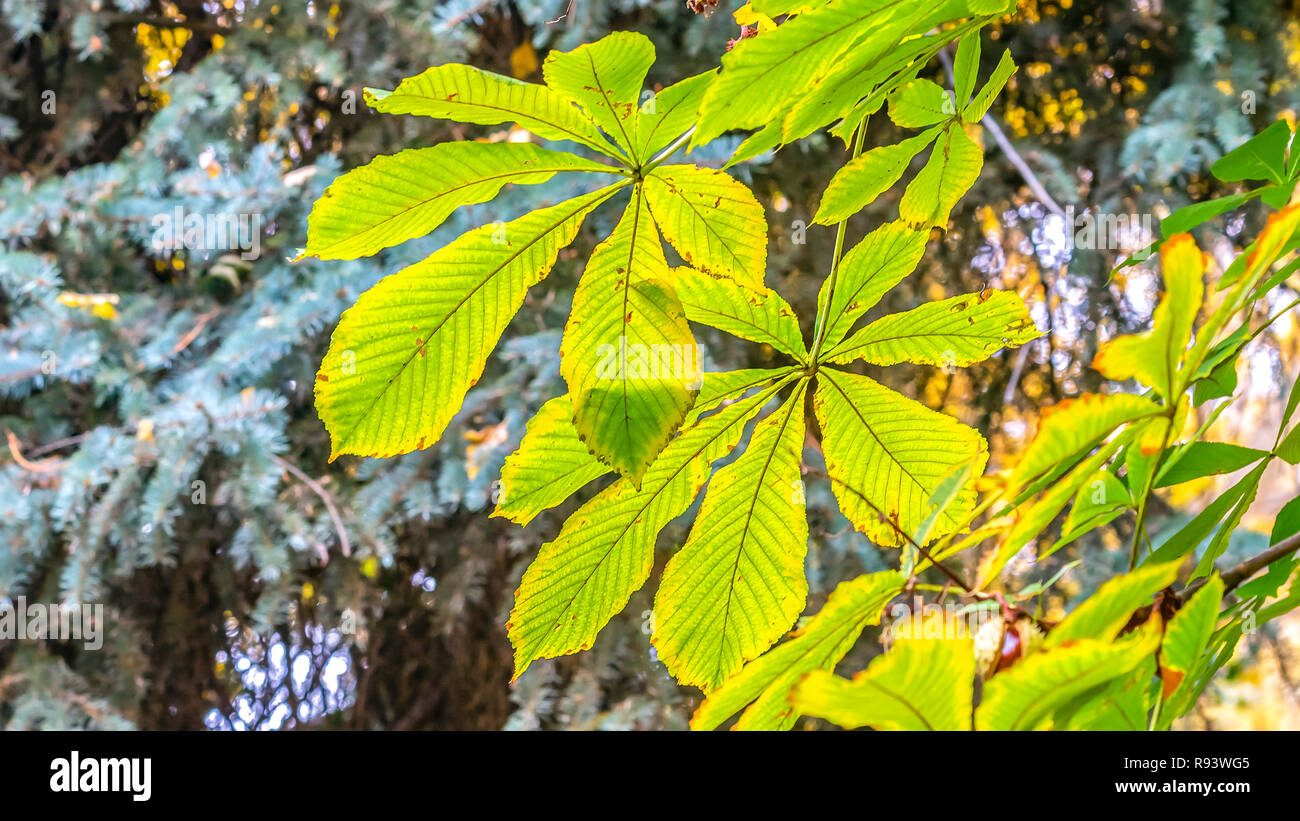 Chestnut leaves against trees on a sunny day - Stock Image