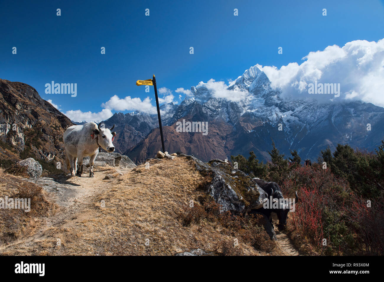 Yak in the Khumbu Valley, Khumjung, Nepal - Stock Image