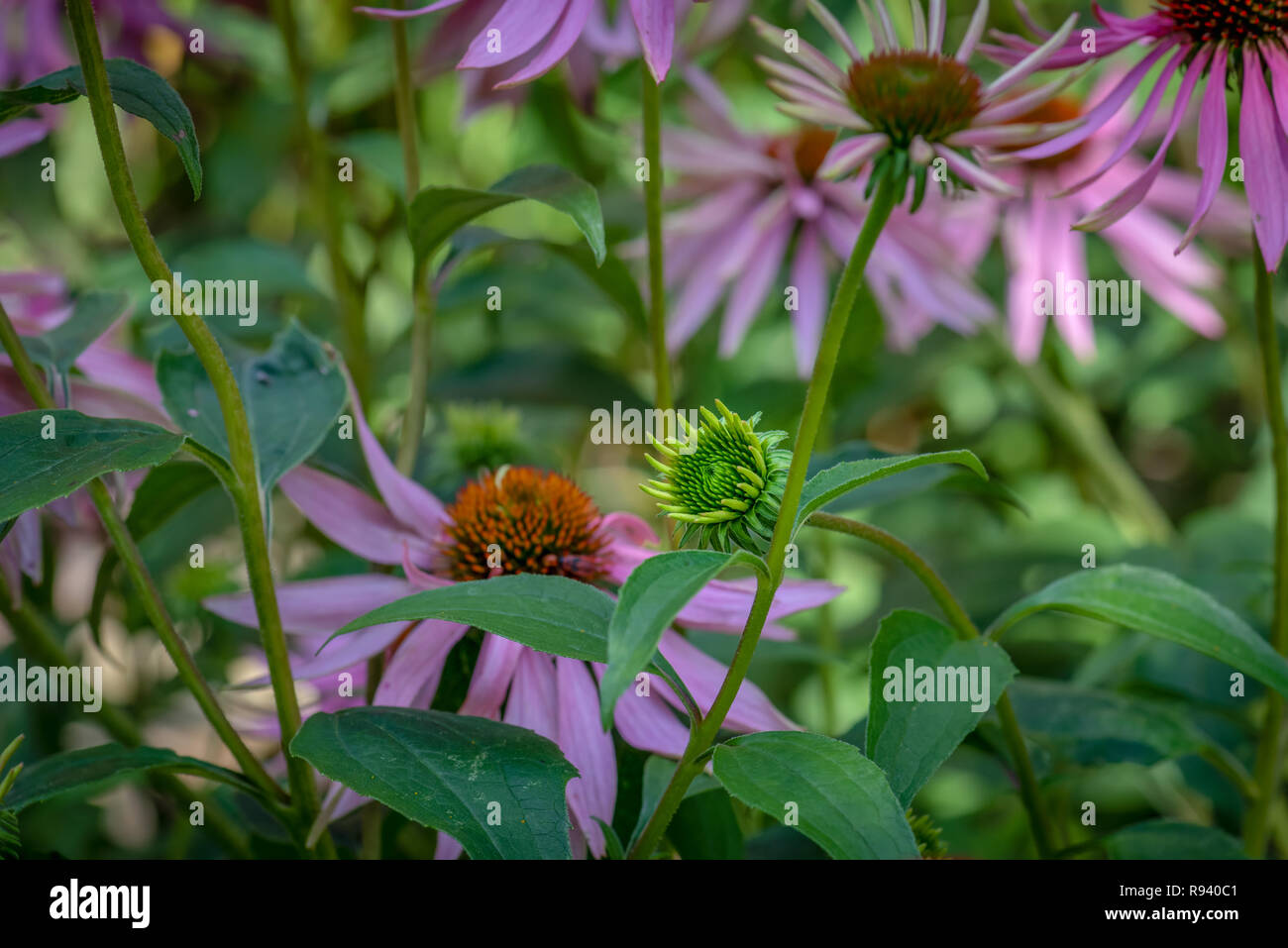 Fine art still life outdoor floral macro of an evolving single isolated young coneflower/echinacea blossom on natural blurred background,sunny summer - Stock Image