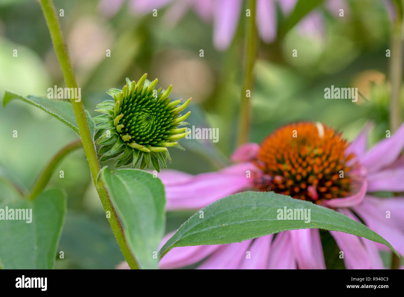 Fine art still life outdoor floral macro of an evolving single isolated young coneflower/echinacea blossom,natural blurred background,sunny summer - Stock Image