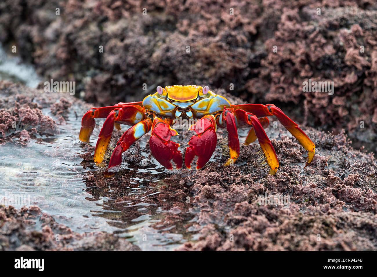 Sally Lightfoot Crab (Grapsus grapsus), Marsh crabs family (Grapsidae), Isabela Island, Galapagos Islands, Ecuador - Stock Image