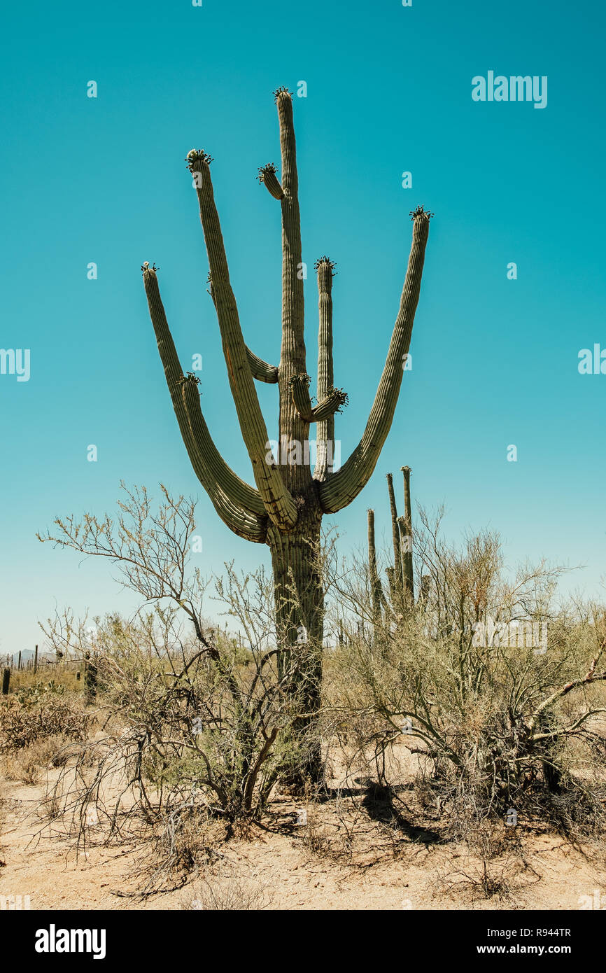 Saguaro Cactus in the Sonoran Desert in Saguaro National Park in Tuscon, Arizona, USA - Stock Image
